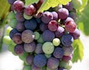 Australian Red Wine Grapes