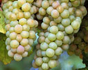 Australian White Wine Grapes
